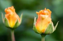 Rosensorte Cosima
